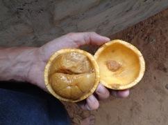 eguni! (bushman's orange)